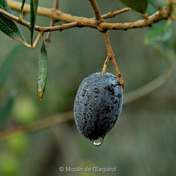 http://v2.moulinesquirol-oliveraie.com/wp-content/uploads/2016/12/NAT_0565-crop.jpg